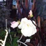 サクラの開花?吉香公園の冬桜と庭のバラ