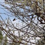 吉香公園の梅と家の梅
